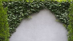 Leafy green vine growing on a cement wall, two bushes, clean typ stock images