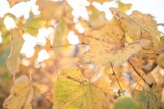 Vine leaves i Royalty Free Stock Photo
