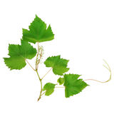 Vine leaves isolated on white background Royalty Free Stock Photography