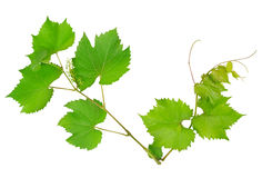 Vine and leaves Stock Photos