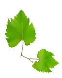 Vine and leaves Royalty Free Stock Image