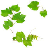 Vine and leaves Stock Photo