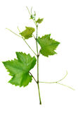 Vine and leaves Royalty Free Stock Photos