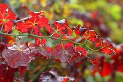 Vine leaves in the italian vineyard in autumn Royalty Free Stock Photography