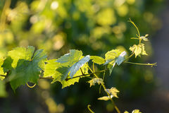 Vine leaves with morning lights Royalty Free Stock Photography