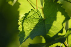 Vine leaves with morning lights Stock Photo