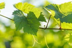 Vine leaves with morning lights Stock Image