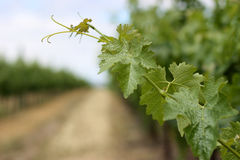 Vine leaves in Napa Valley Stock Photo
