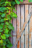 Vine leaves on an old door Stock Photo