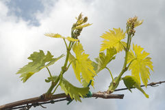 Vine leaves over cloudy sky Stock Photo