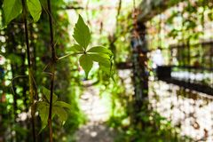 Vine leaves pictured in an iron framed human sized maze royalty free stock image