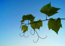 Vine leaves. Royalty Free Stock Images