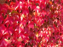 Vine leaves Royalty Free Stock Photos