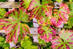 Vine leaves. Red, purple and green vine leaves in English garden royalty free stock photography