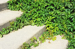 Vine leaves on stairs Royalty Free Stock Images