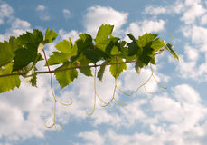 Vine leaves and tendrils over sky, backlit Stock Images