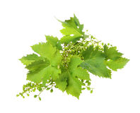Vine leaves Stock Photography