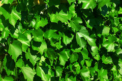 Vine leaves vine-prop 4690 Stock Photography