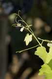 Vine leaves in vineyard Stock Photos