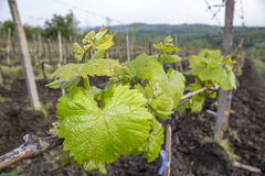 Vine Leaves Royalty Free Stock Photos