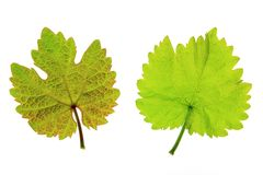 Vine leaves (Vitis vinifera) Stock Photography