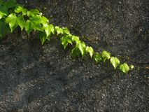 Vine leaves on the wall Royalty Free Stock Photos