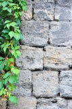 Vine leaves on wall Stock Photography