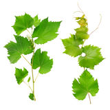 Vine leaves Stock Images