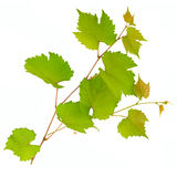 Vine and leaves Royalty Free Stock Images