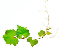 Vine and leaves on white background Royalty Free Stock Photo