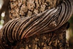 Vine liana tie up around tree Royalty Free Stock Images