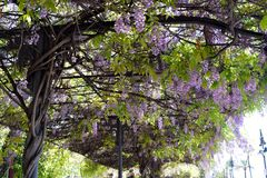 Vine of lilacs hanging in a bus stop Stock Photos