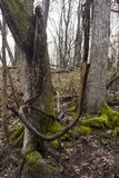 Vine loops. A vine hanging between two trees forms a loop in the forest stock photos