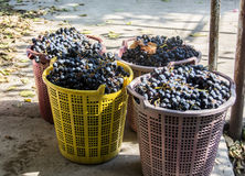 Vine make. During the vintage years in California, some winery and fairgrounds hold a publicly-held grape-crushing feast for symbolic purposes Stock Photos