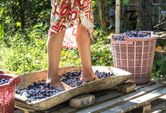 Vine make. During the vintage years in California, some winery and fairgrounds hold a publicly-held grape-crushing feast for symbolic purposes Royalty Free Stock Image