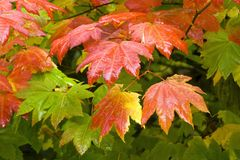 Vine Maple (Acer circinatum) Stock Images