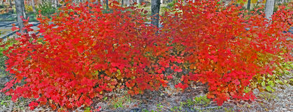 Vine Maple - Brilliant Red - Panorama Stock Photo