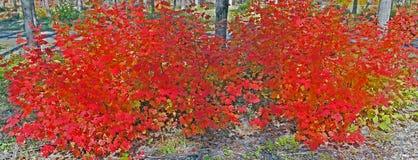 Vine Maple - Brilliant Red - Panorama Stock Photo