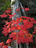 Vine Maple - Fall Beauty Stock Photography