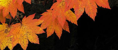 Vine Maple - Fall Color Panorama Royalty Free Stock Images