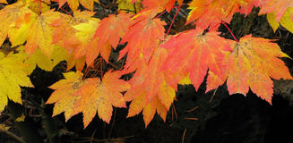 Vine Maple - Fall Color Panorama Stock Photos