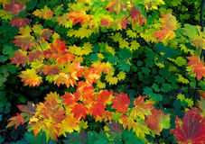Vine Maple - fall colors Royalty Free Stock Photography