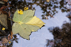Vine maple leaf on water. Stock Photo
