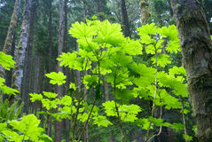 Vine maple leaves in conifer forest Stock Photo