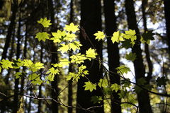 Vine Maple Leaves Royalty Free Stock Images