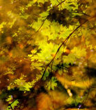 Vine Maple Reflections Stock Image