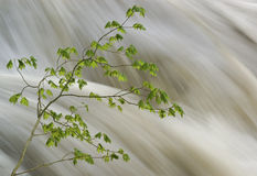 Vine maple tree and raging river Stock Photo