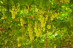 Vine in the middle of the summer Royalty Free Stock Photos