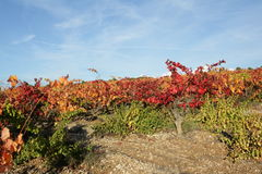 Vine in Minervois, France Stock Photography