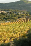 Vine in Minervois, France Royalty Free Stock Photo